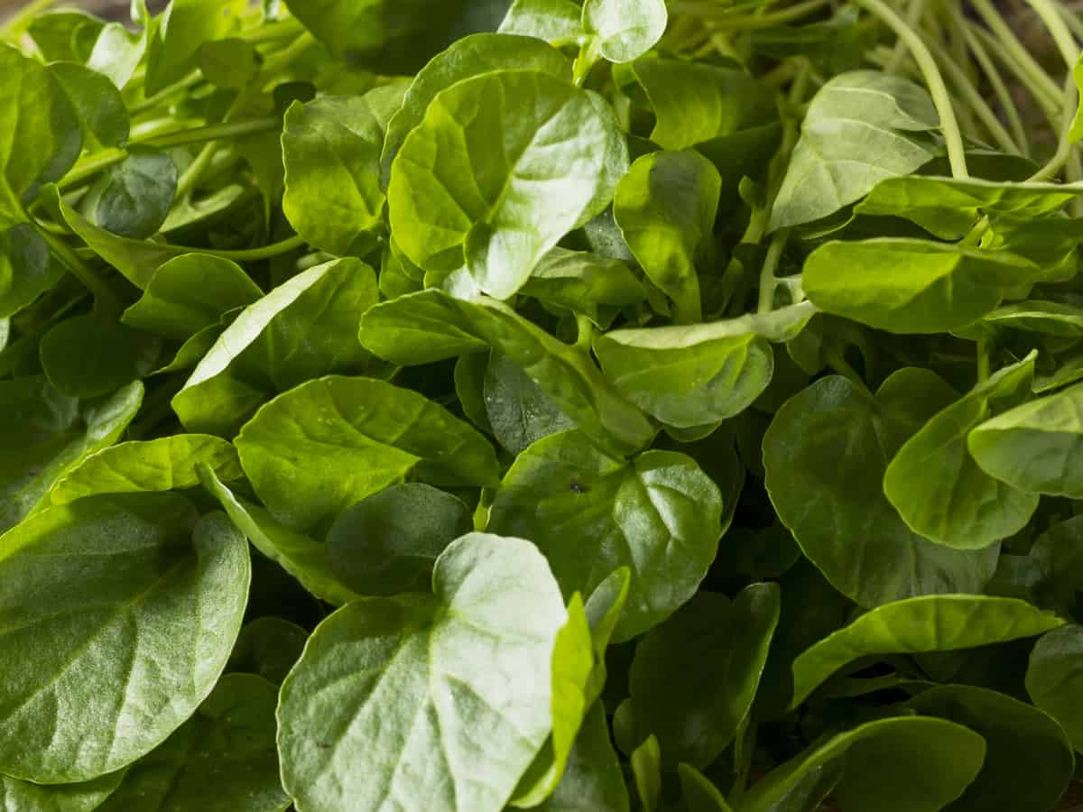 garden cress is delicious and easy to grow