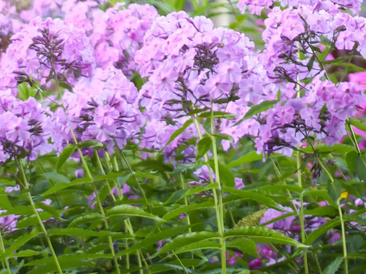 choose garden phlox as one of your beautiful dividing perennials