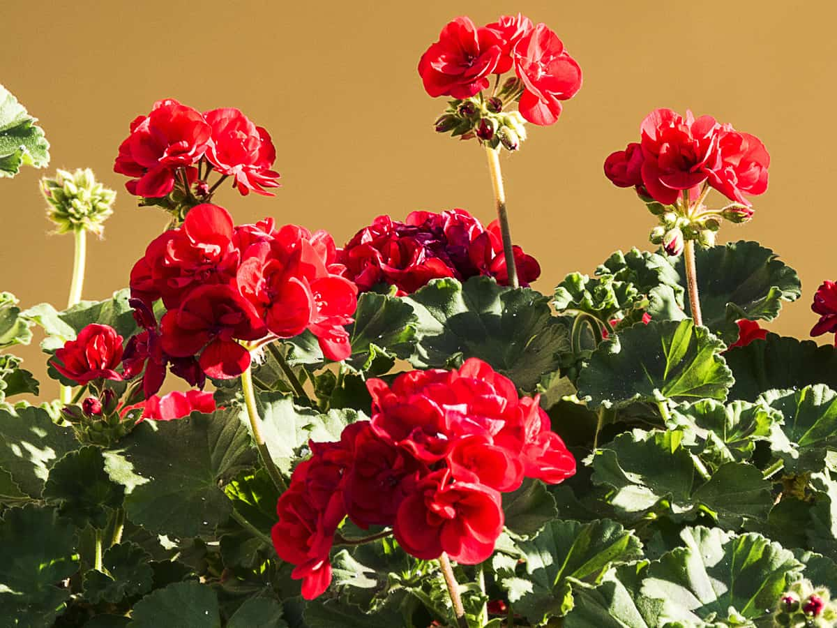 geraniums offer a lot of color in a small package