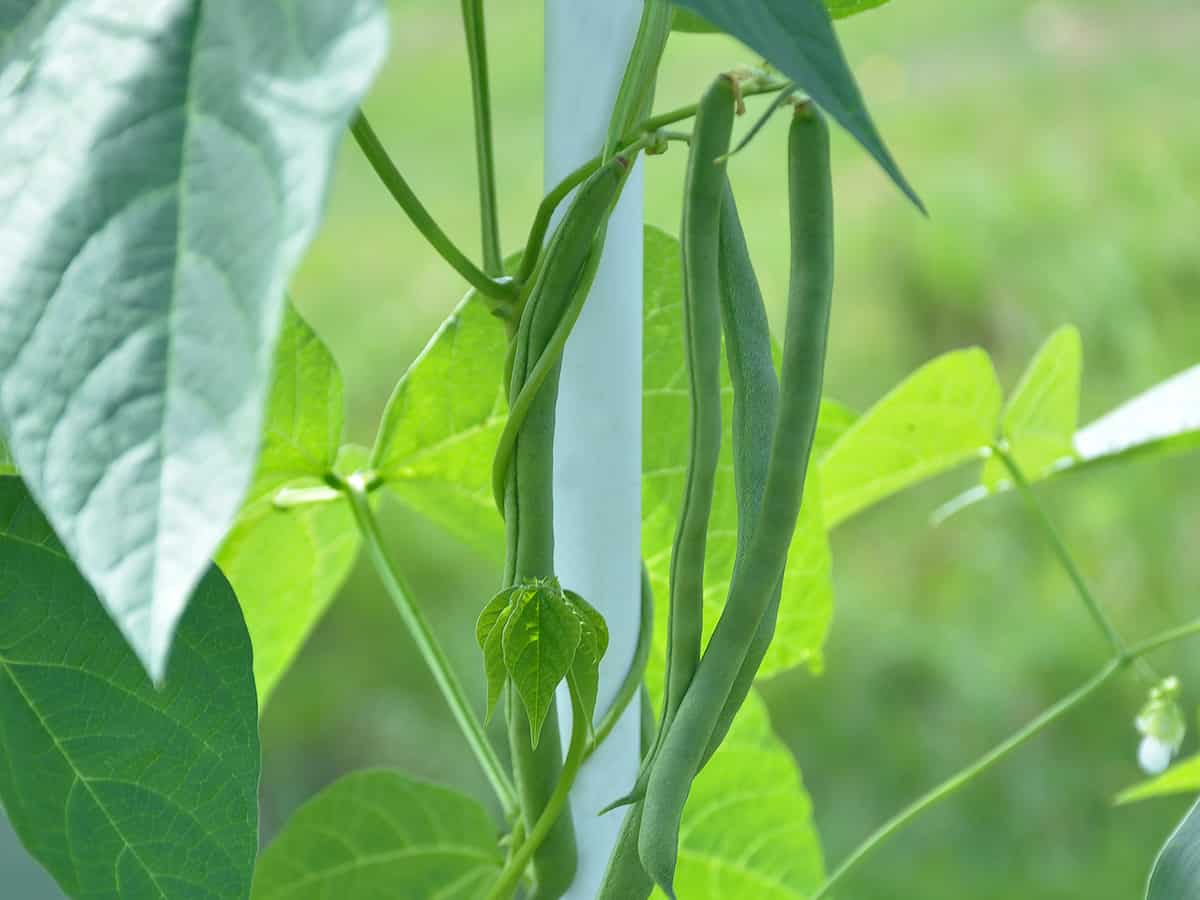 green beans thrive in the sun