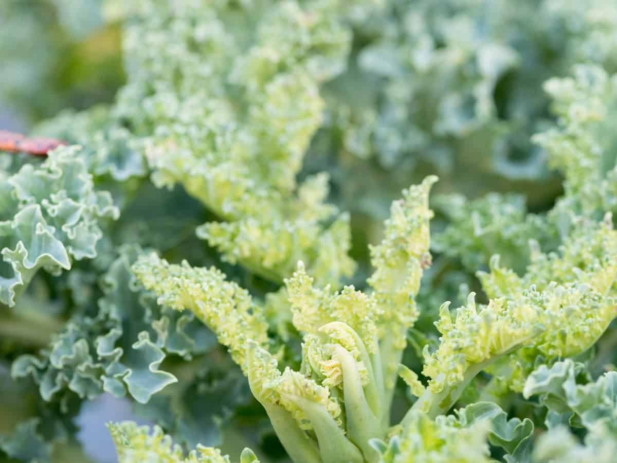 kale is popular for its taste and nutritional value
