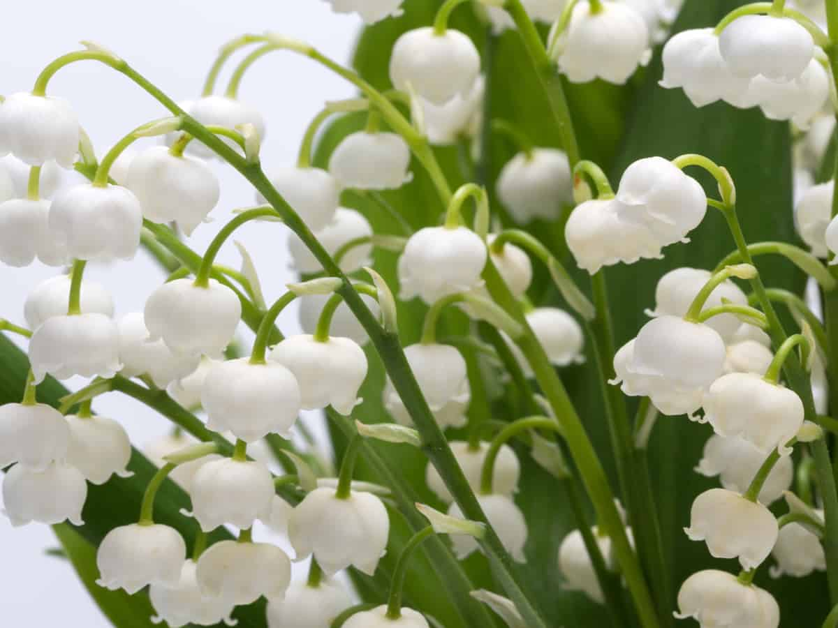 lily of the valley is a fragrant dividing perennial