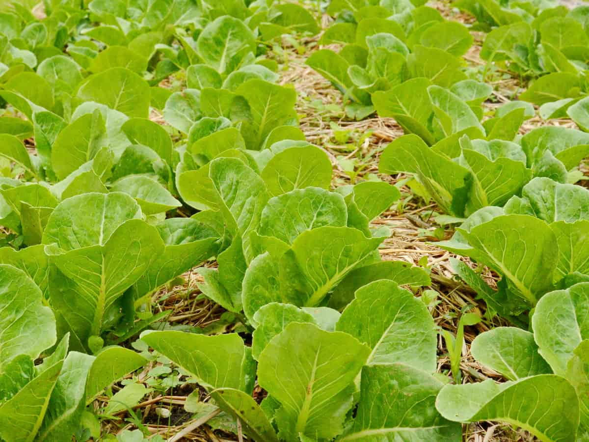 harvest loose-leaf lettuce by the leaf rather than by a head