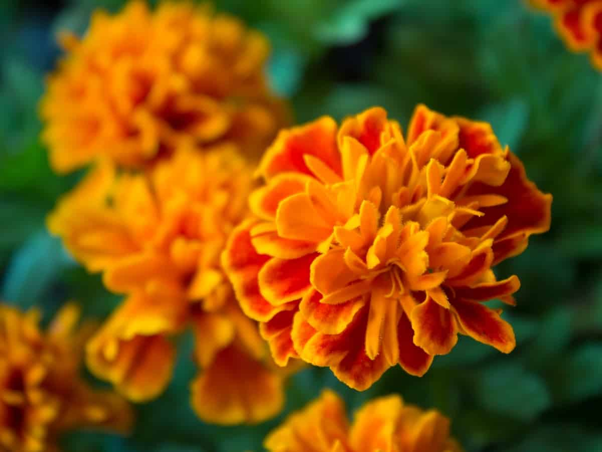 the Mexican marigold is ideally suited for shade or sun