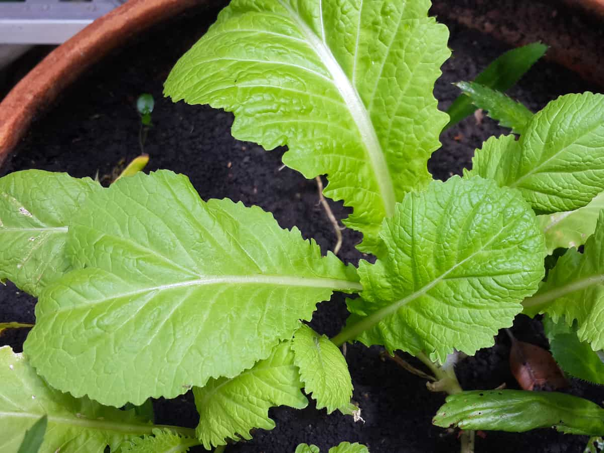 mustard greens are one of the fastest growing vegetables