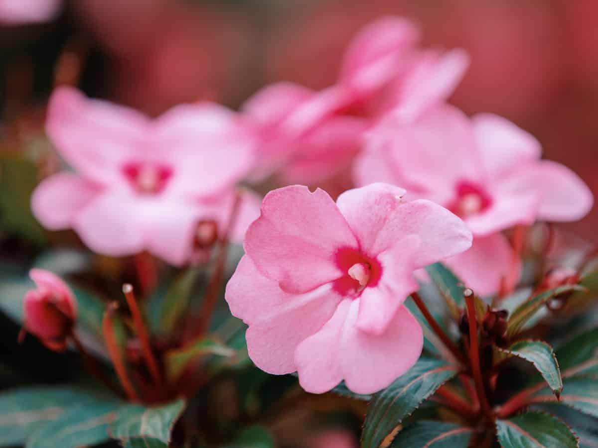 choose New Guinea impatiens as one of your shade flowers for pots and you won't be disappointed