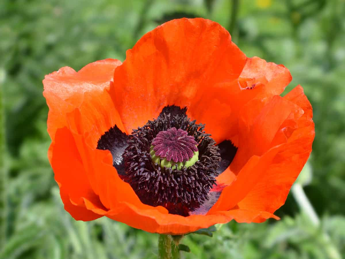 oriental poppy does best when divided annually
