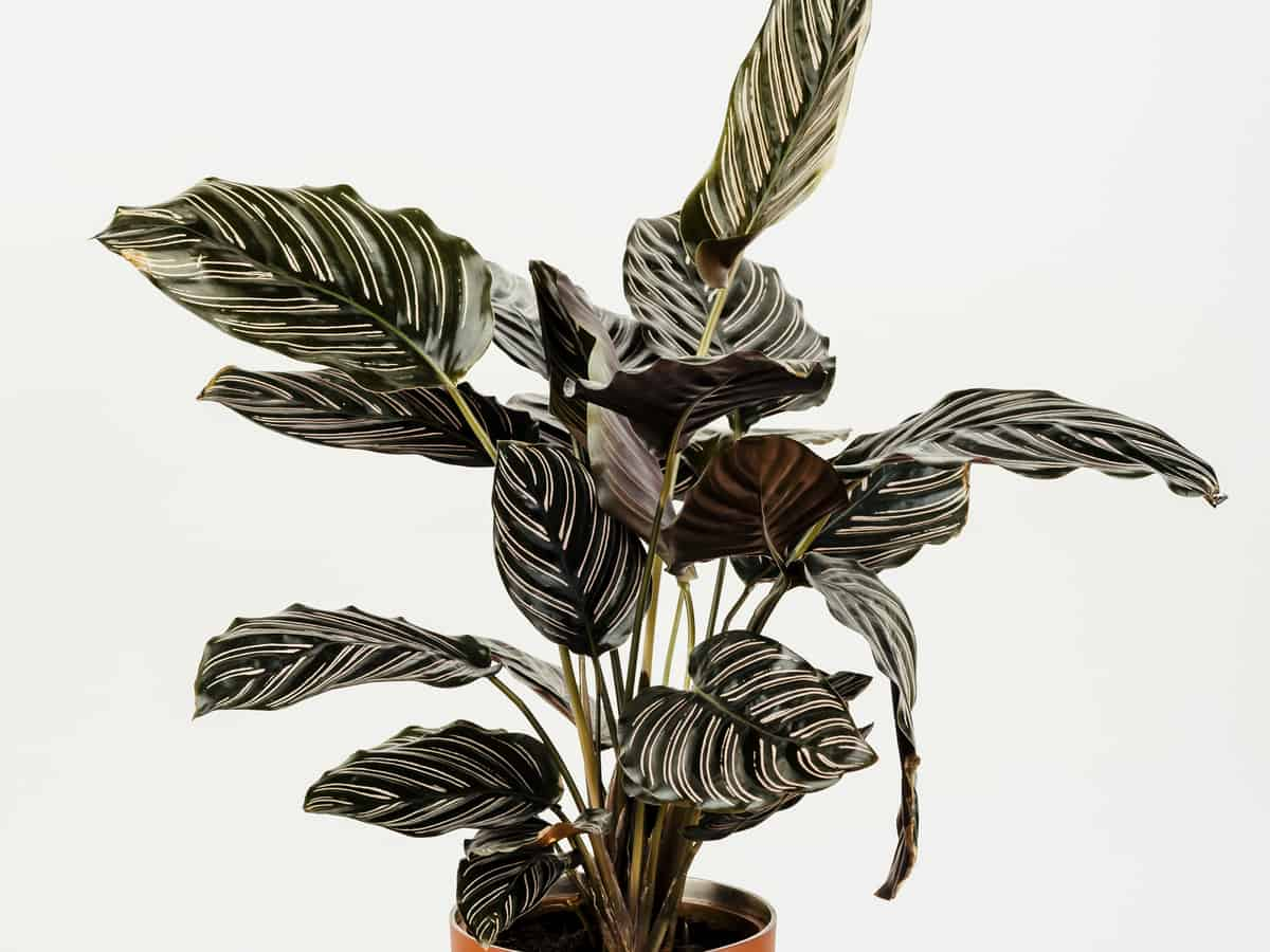 if you don't have a green thumb, grow a prayer plant