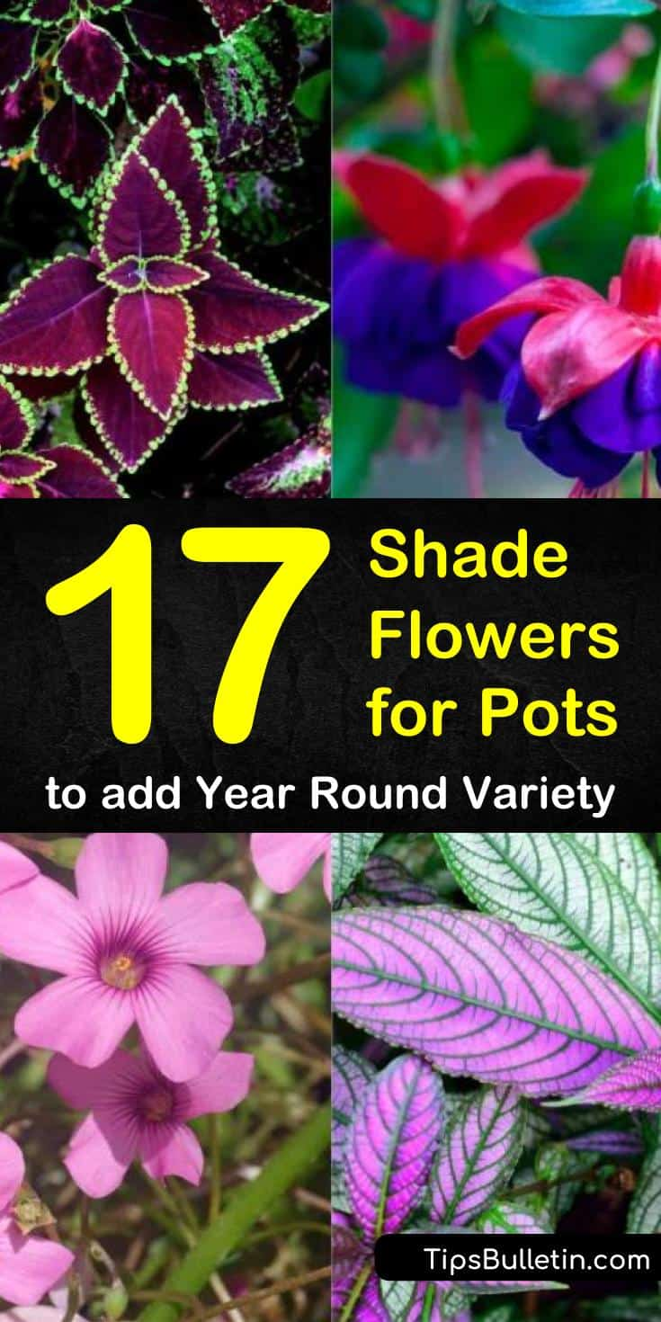 Shade flowers for pots add interest to your garden, patio, deck, or balcony. You are not limited to finding plants that only do well in the sun. Choose some of these beauties to liven up your landscape. #plantsforpots #flowerpots #shadeflowers