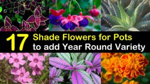shade flowers for pots titleimg1