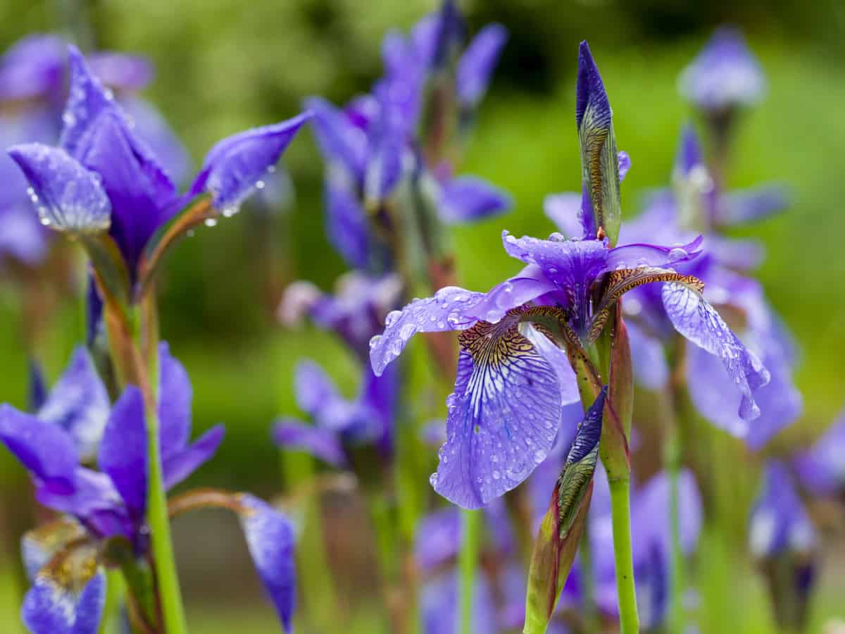 add some elegance to your yard by planting Siberian iris