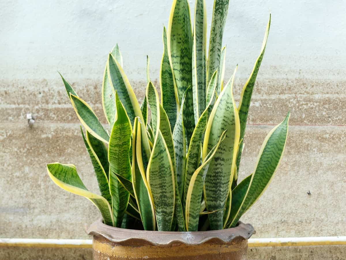 the snake plant is incredibly easy to care for