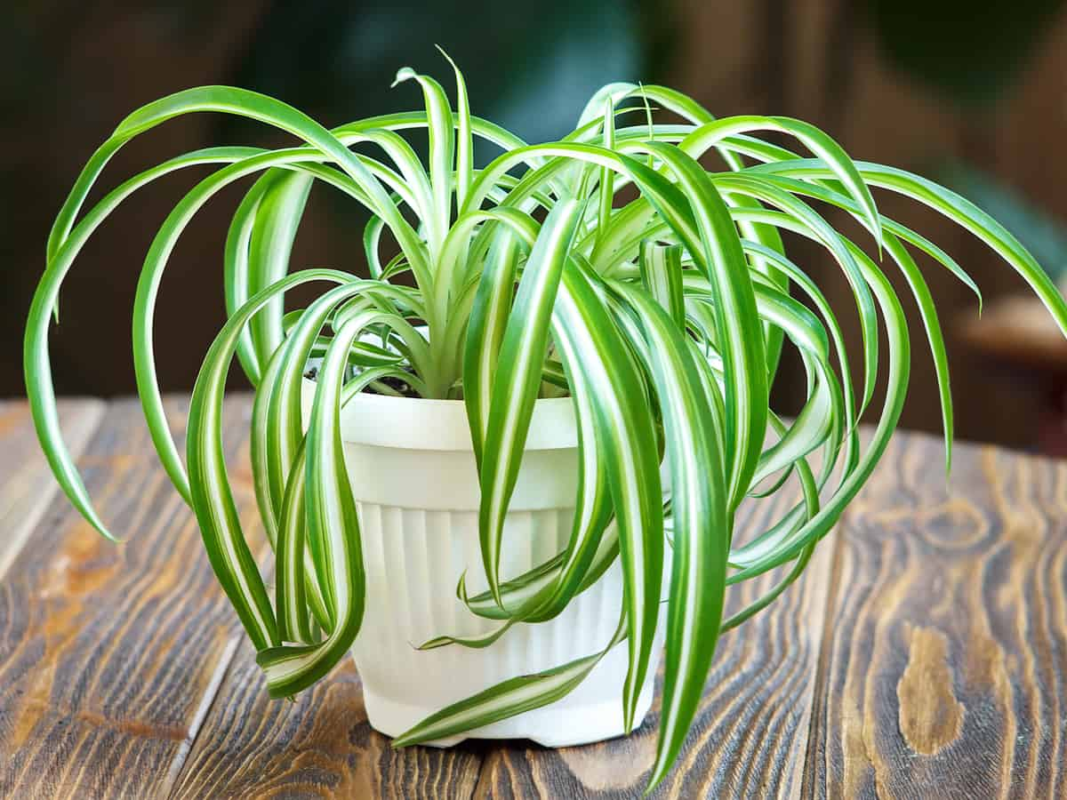 the spider plant is ideal for a hanging basket
