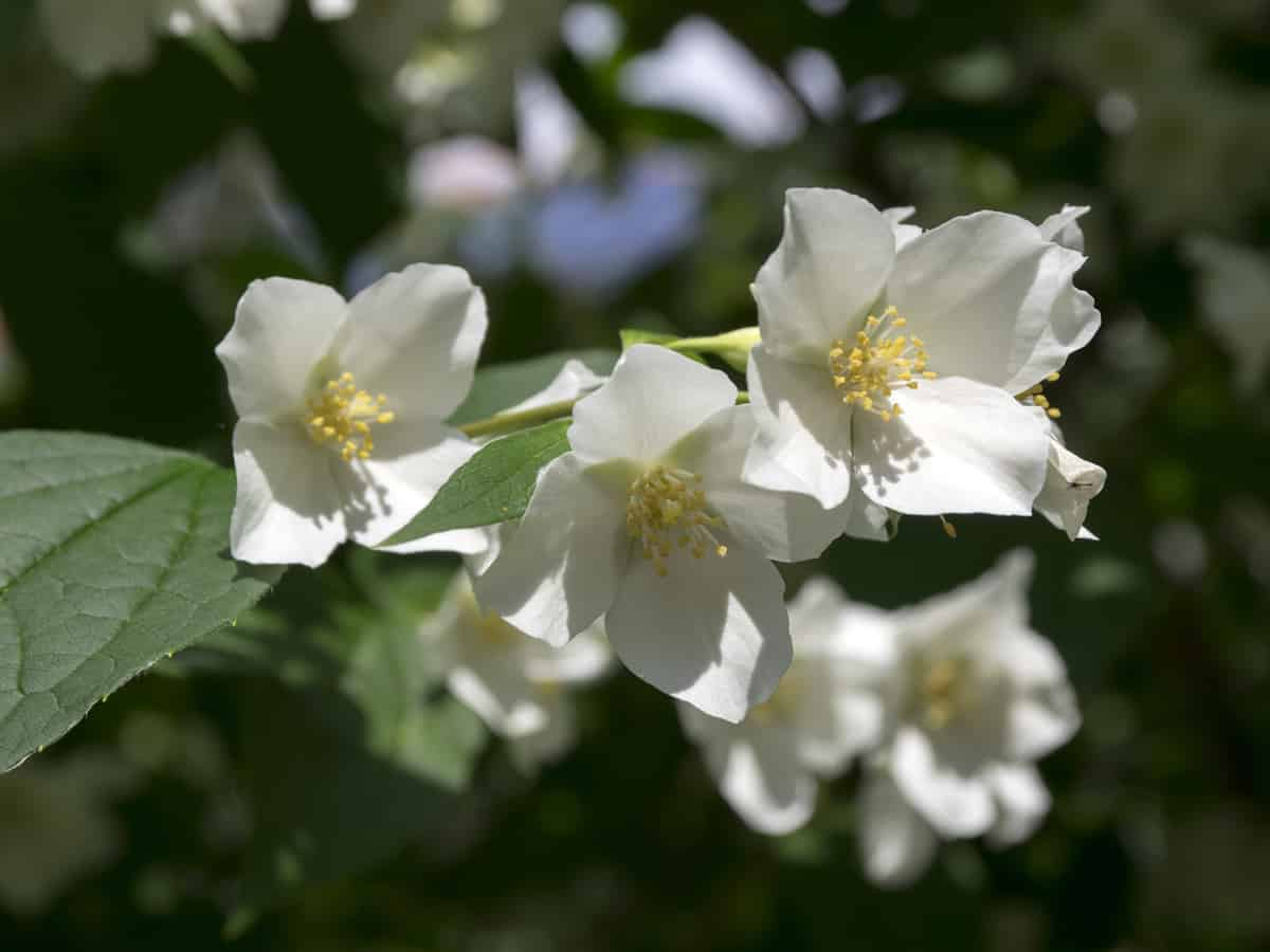 the mock orange can grow into a large shrub