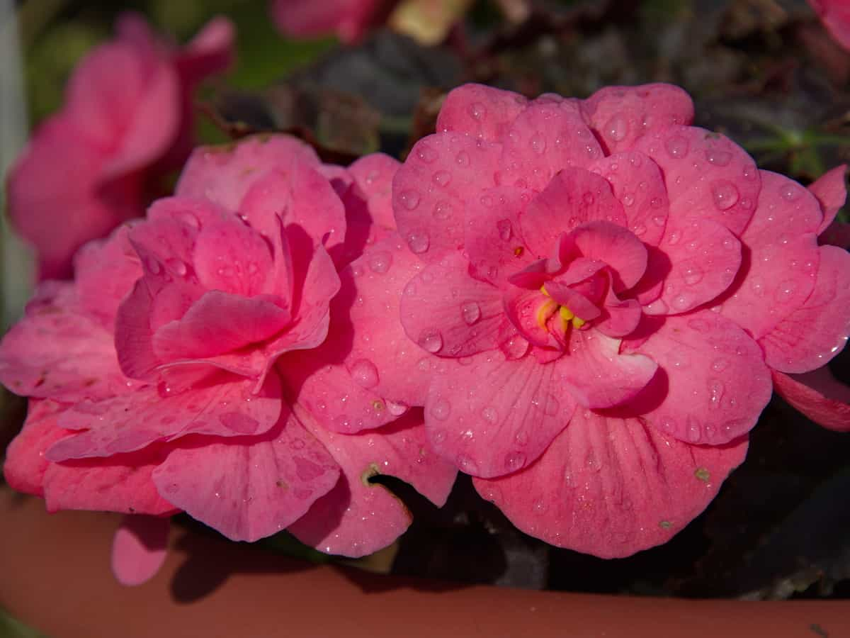tuberous begonias come in beautiful colors