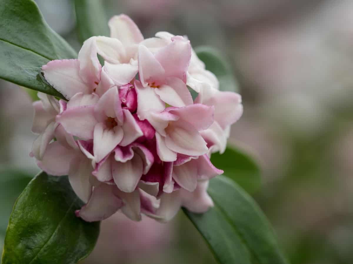 the winter daphne adds to a sweet smelling garden