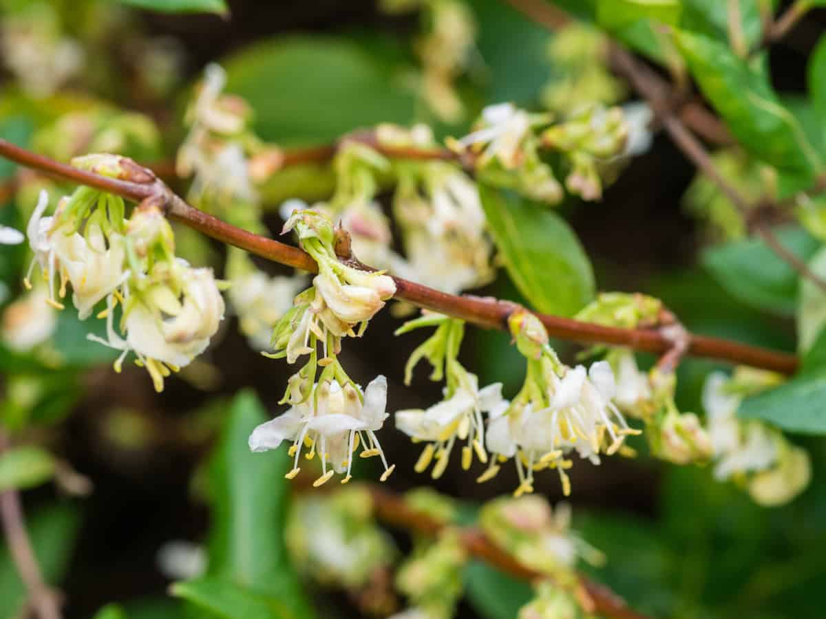 14 Fragrant Shrubs And Bushes For A Sweet Smelling Garden