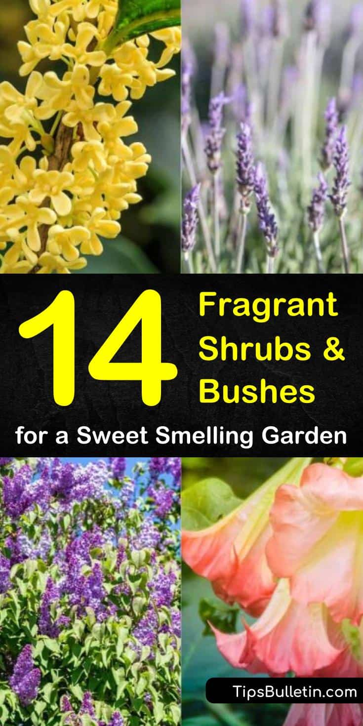 Learn about the plants that you should have in your gardens if you want your yards to be full of fragrance. From perennials and lilac bushes to drought tolerant shrubs with pink flowers, these plants will turn your yard into a sweet smelling wonderland! #fragrantshrubs #fragrant #bushes #shrubs