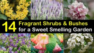 fragrant shrubs titleimg1