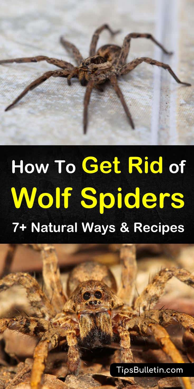 We have a variety of natural remedies for removing wolf spiders from inside your house and around your home. Our tips provide answers on how to keep spiders out as well as how to get rid of them. #getridofwolfspiders #wolfspider #howtokillwolfspiders