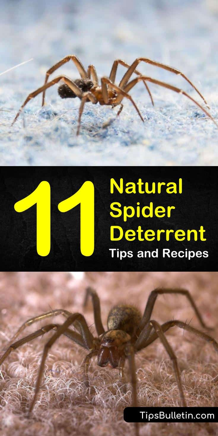 Try a natural spider deterrent to keep spiders out of houses and out of trouble. Use sprays made with essential oils like tea tree and peppermint as a natural repellent. Discover how to get rid of spiders using natural, non-toxic solutions. #natural #spider #deterrent #repellent