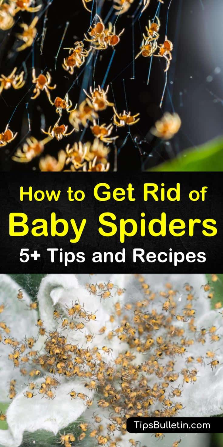 The last thing anybody wants is a bunch of baby spiders in their house. We will show you some of the best natural remedies for ridding your house of baby spiders using smells that repel them and other natural methods. #babyspiders #repelspiders #getridofspiders