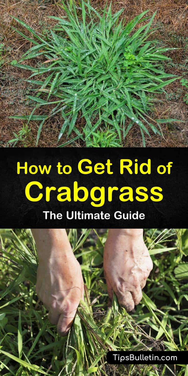 Get rid of those crabgrass weeds from your lawn naturally or with herbicides. Make a homemade natural crabgrass killer to eliminate weeds from the yard and perform proper lawn care to ensure that they do not return. #crabgrasskiller #howtokillcrabgrass #removecrabgrass