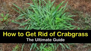 how to get rid of crabgrass titleimg1