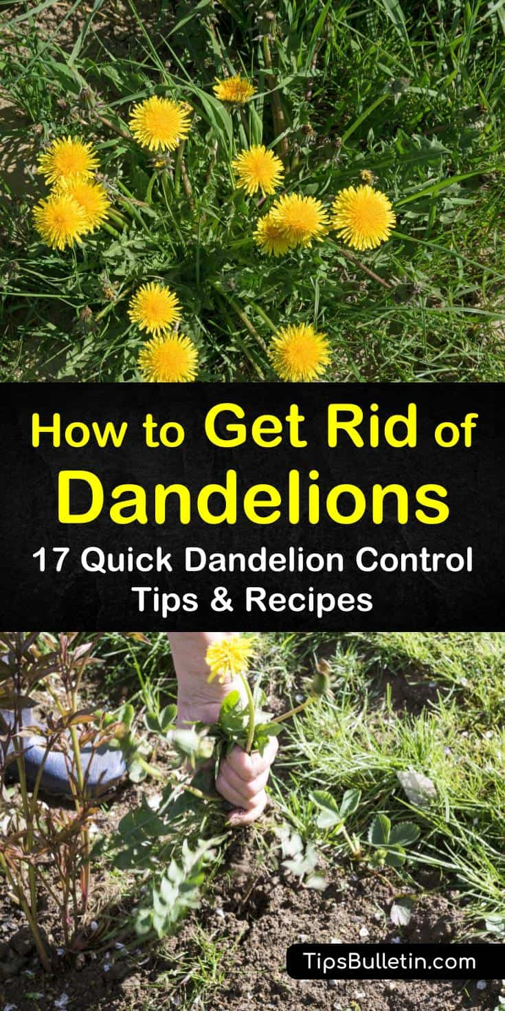 You can easily remove dandelions from around your home and in yard areas. Vinegar, dish soap, lemon juice, rubbing alcohol, or even boiling water can kill dandelions in lawn areas without adding more chemicals to the environment. #dandelions #killdandelions #getridofdandelions