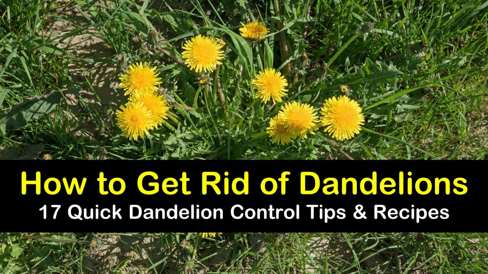 how to get rid of dandelions titleimg1