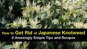 how to get rid of Japanese knotweed titleimg1