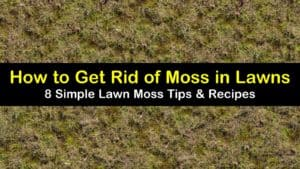 how to get rid of moss in lawns titleimg1
