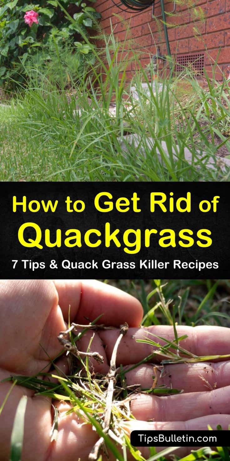 Learn how to get rid of Quackgrass through mulch and mowing. Our guide shows you the best way to remove Quackgrass and other pesky perennials from your lawn without spreading rhizomes around and seeding more weeds. #quackgrass #weedremoval #getridofquackgrass