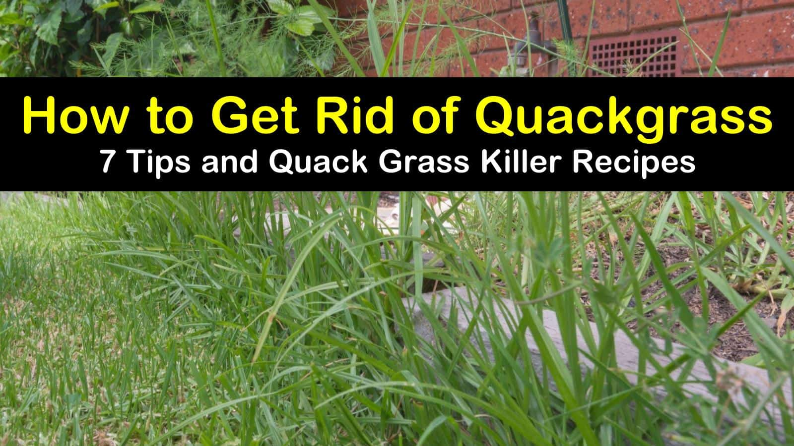 how to get rid of quackgrass titleimg1