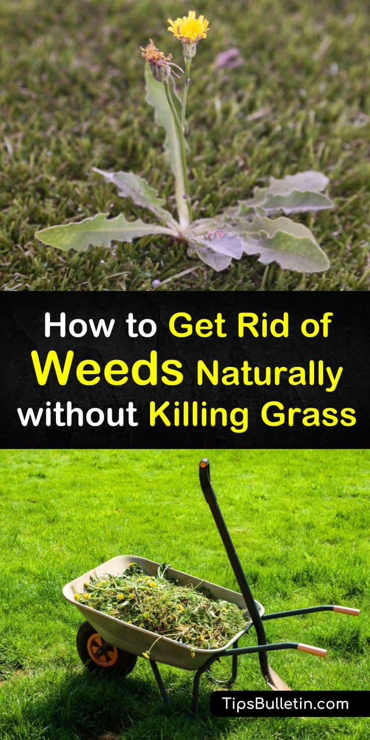 Learn different strategies for how to get rid of weeds naturally without killing grass. Use boiling water, dish soap, and other natural weed killers to remove dandelions and crabgrass. Try preventative measures like mulch or mowing to assist weed control. #diy #weeds #naturally #grass