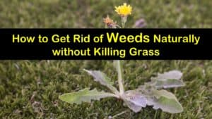 how to get rid of weeds naturally without killing grass titleimg1
