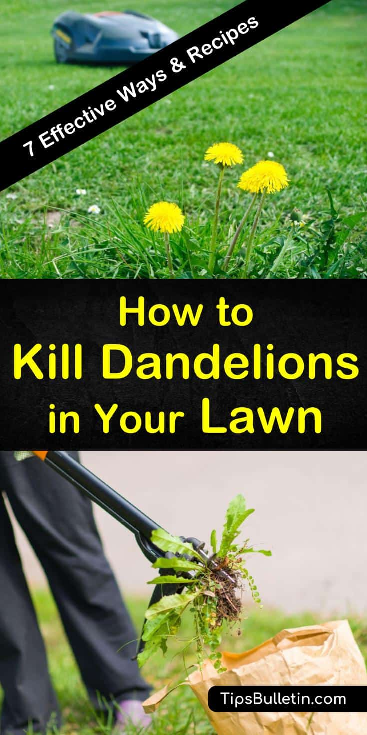 Try these methods for how to kill dandelions in your lawn, including hand-pulling, mowing, and vinegar. Get rid of dandelions using a broadleaf weed killer as a selective herbicide safe to use on grass. Discover preventative measures you can take to keep weeds off your lawn. #kill #dandelions #lawn