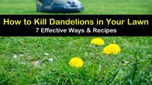 how to kill dandelions in your lawn titleimg1