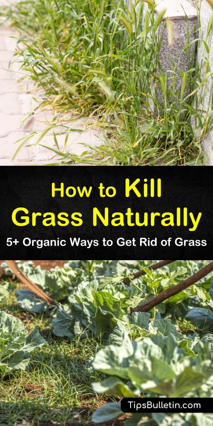 Check out these tips and recipes that show you how to get rid of grass and weeds naturally. Make homemade organic herbicides using vinegar, salt, and baking soda to kill invasive grasses and weeds. #organicgrasskiller #killgrassnaturally #grass