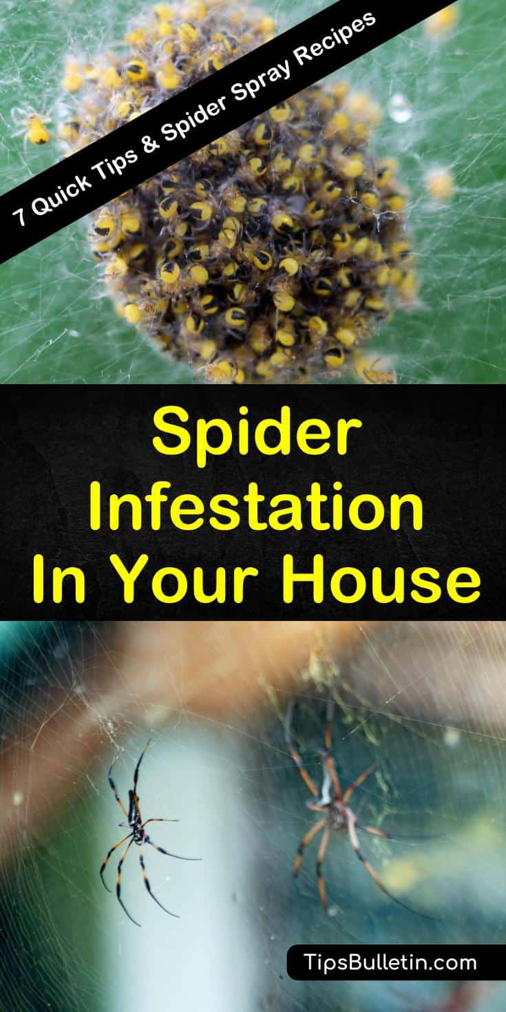 Learn how to deal with a spider infestation in your house with our guide. We give you tips to help you with pest control in your home using common-sense precautions and simple recipes. #spiderinfestation #spiders #eliminatespiders