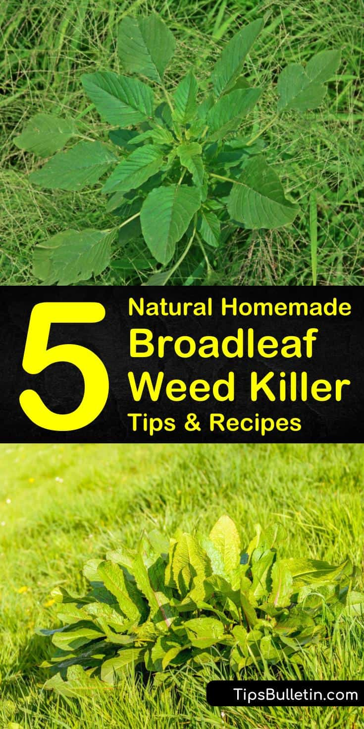 Proper weed control is about knowing how to identify and kill weeds in your lawn and surrounding landscape. To target broadleaf weeds, such as dandelions and plantain, use one of our homemade weed killer recipes. #broadleafweed #killbroadleafweeds #weedkiller