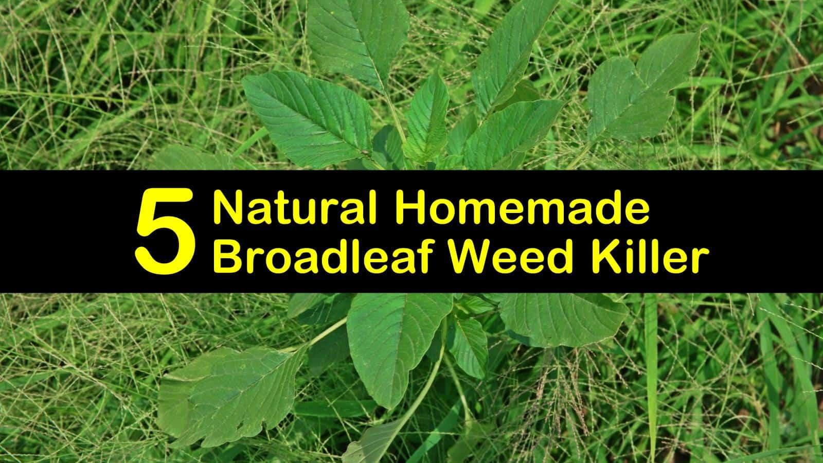 homemade broadleaf weed killer titleimg1