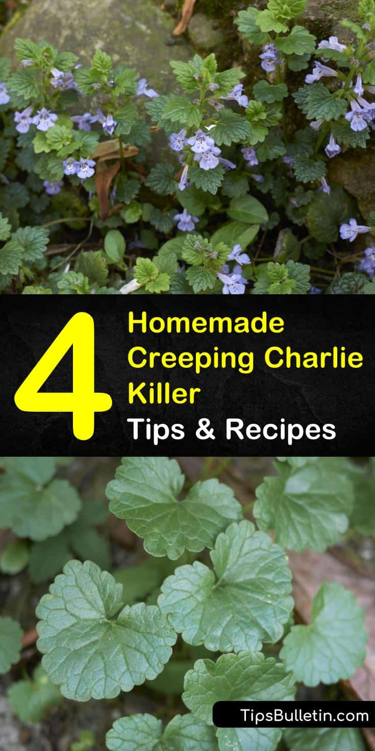 Creeping Charlie is an aggressive ground weed that can cause havoc on your lawn. Remove Creeping Charlie in a few simple steps using Borax, or make a natural weed killer out of vinegar to eliminate invasive ground ivy. #creepingcharliekiller #pestcontrol #creepingcharlieremedy #gardening