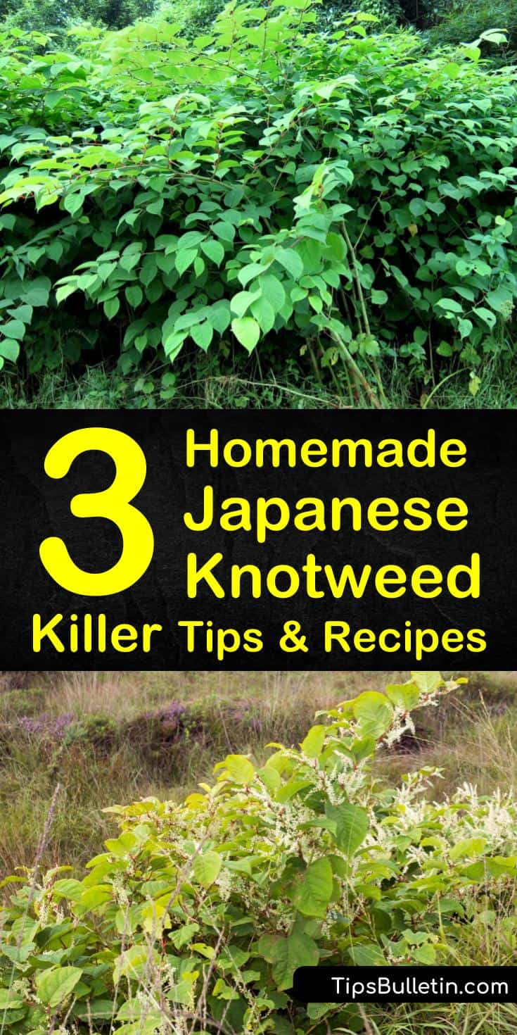 Learn how to kill Japanese knotweed by making your weed killer. This invasive weed regrows through its rhizomes, stems, and seeds and can easily take over your property. Dig the weed out entirely or make a weed-killing spray. #knotweedkiller #japaneseknotweed #homemadeweedkiller