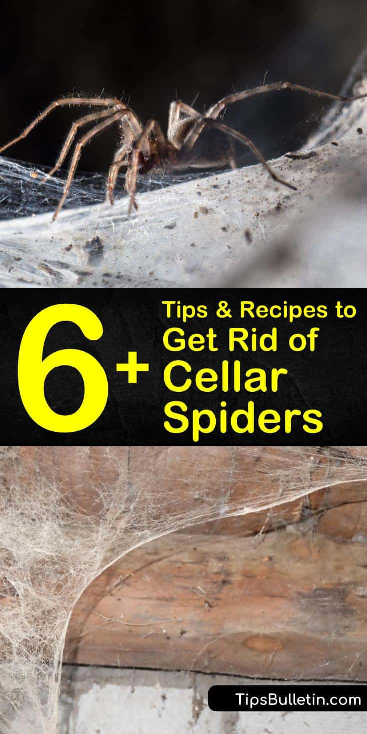 Spiders can be a nuisance in the cellar or basement of your house. Learn how to kill and control cellar spiders using natural remedies such as essential oils, white vinegar, and dish soap, and control cellar spiders by using a dehumidifier. #killcellarspiders #cellarspider #getridofspiders