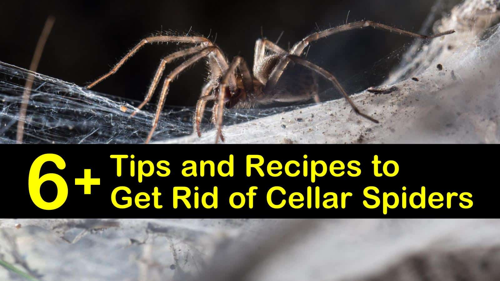 how to get rid of cellar spiders titleimg1