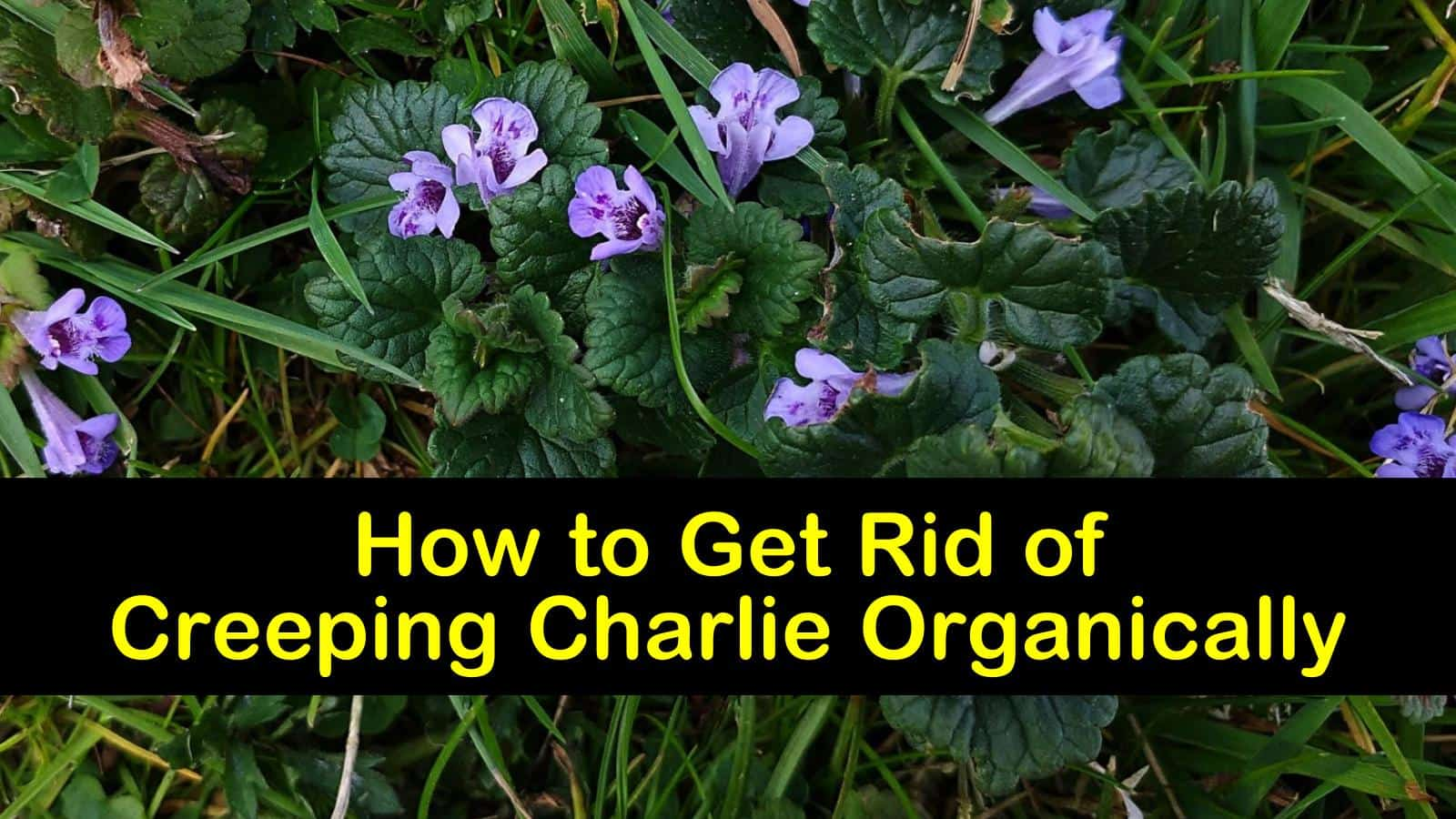 how to get rid of creeping charlie organically titleimg1