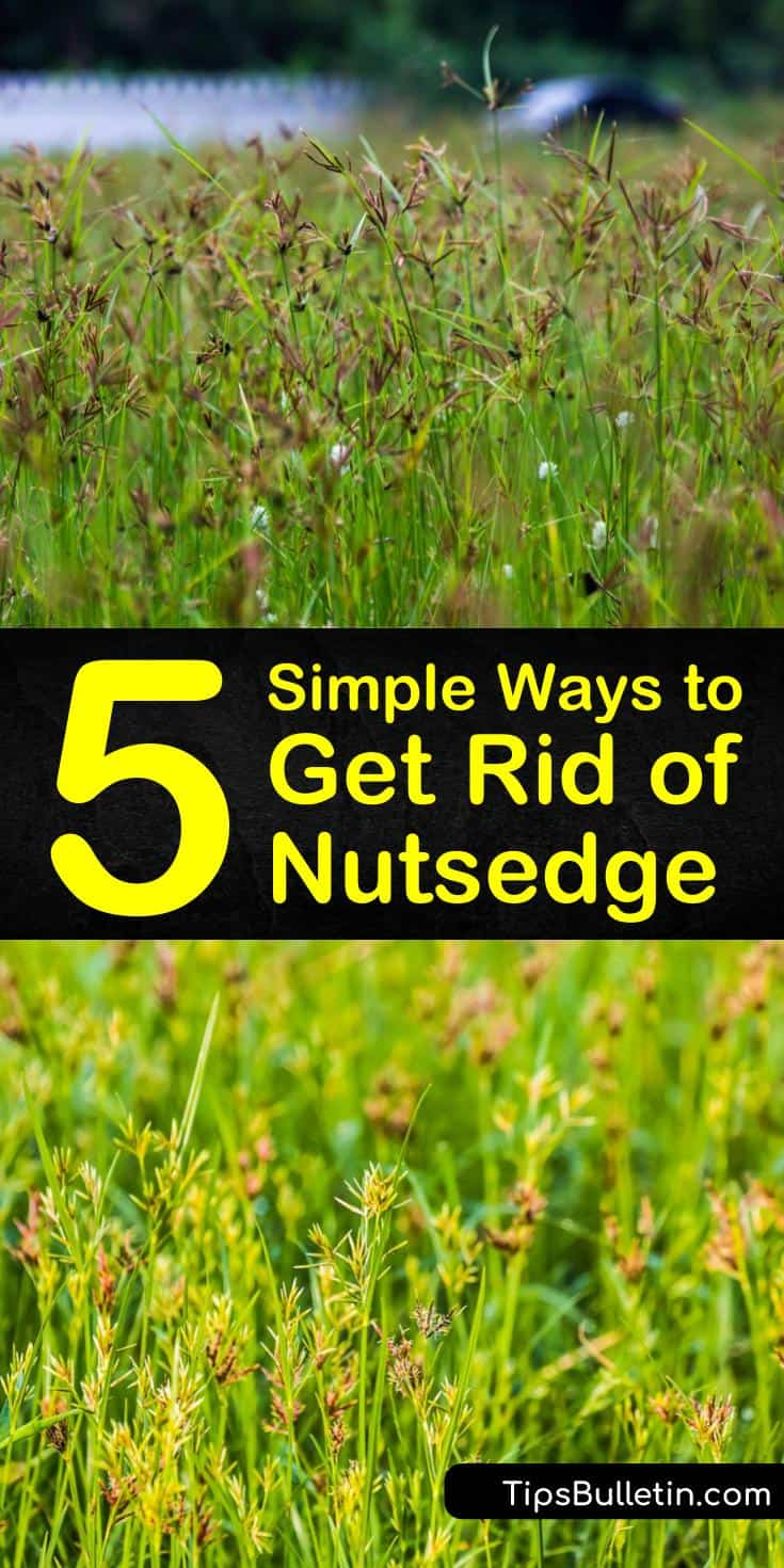 Discover how to get rid of nutsedge using these easy-to-follow steps. Eliminate nutgrass with organic solutions like sugar or chemical control methods like Ortho and Roundup weed killers. A few preventative tips to also limit the appearance of new nutlets in the future. #getrid #nutsedge #nutgrass