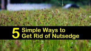 how to get rid of nutsedge titleimg1