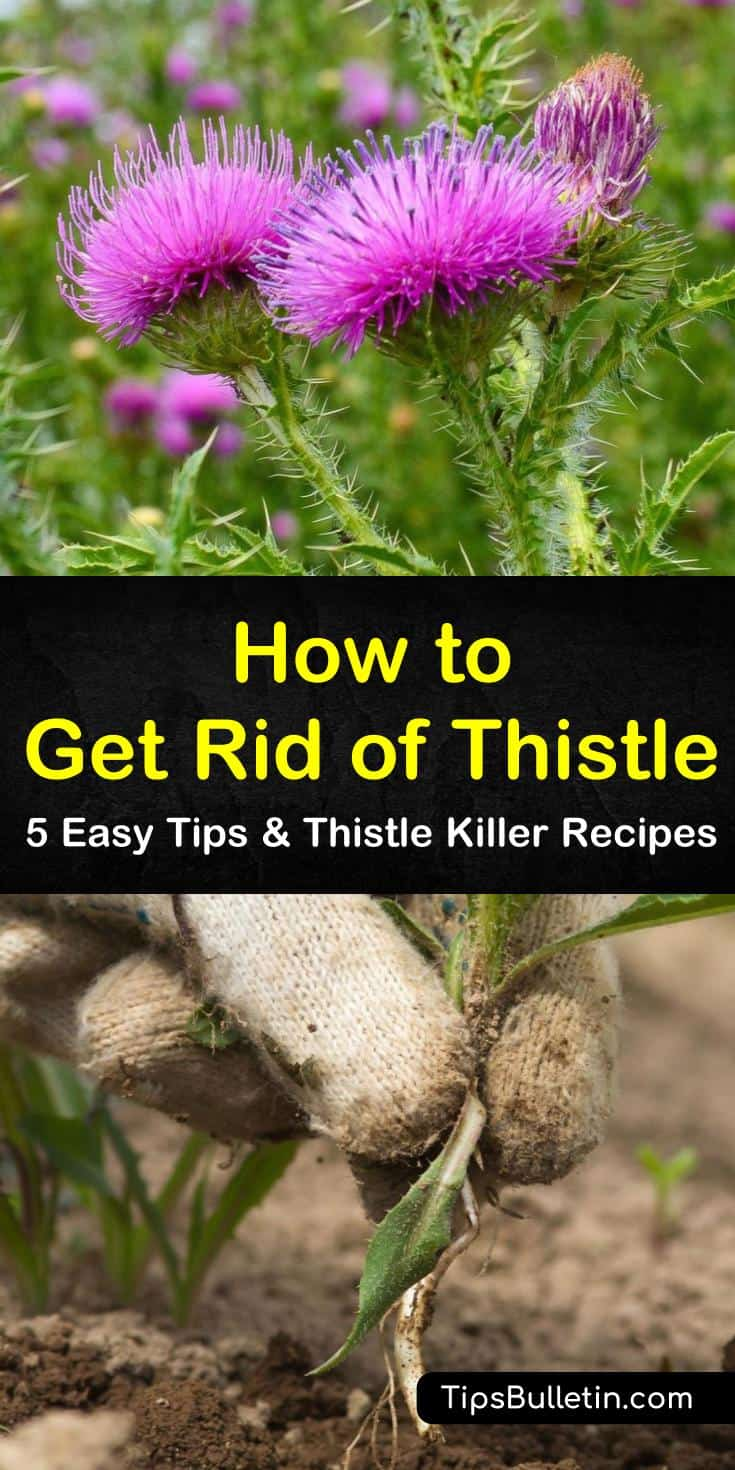 Discover the best options for how to get rid of thistle, including using vinegar and lemon juice. Identify the differences between treating Canada Thistle and Bull thistle in your lawn. Try amazing recipes that attack the root system of thistle and eliminate it for good. #howto #rid #thistle #weed